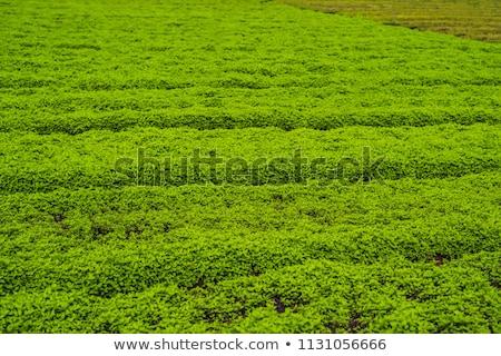 hera · legumes · fresco · natureza · fruto · jardim - foto stock © galitskaya