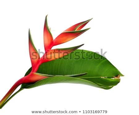 Heliconia tropical plant red flowers Nature Background Image. Stock photo © Margolana