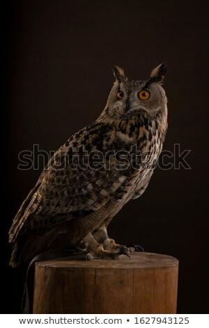 coruja · cara · natureza · pena · retrato · animal - foto stock © catchyimages