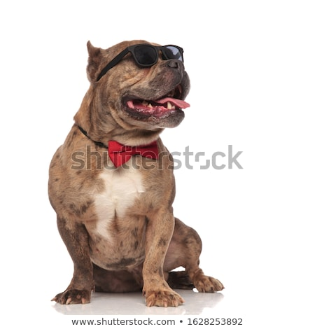 American bully puppy wearing bowtie and sunglasses sitting Stock photo © feedough