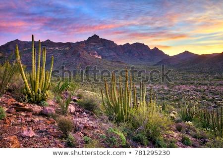 пустыне · весны · кактус · Полевые · цветы · Аризона - Сток-фото © jsnover