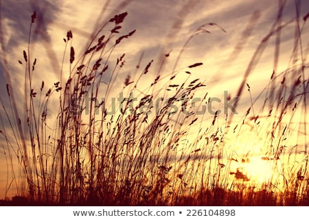 prairie grass crop sunset stock photo © pictureguy