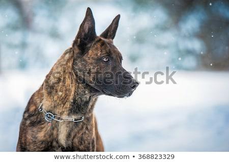 holland · herder · portret · studio · jonge · dier - stockfoto © cynoclub