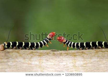Caterpillar duel coup deux coloré Photo stock © macropixel