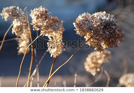 Withering Inflorescence Stock photo © eldadcarin