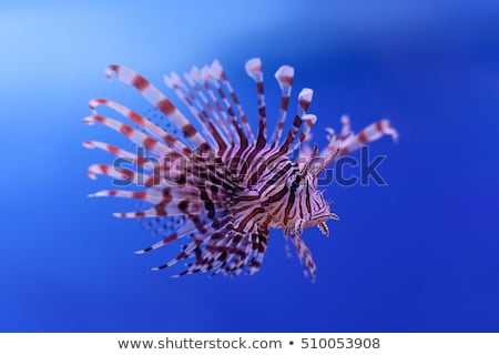 lionfish swimming in the sea stock photo © imaster