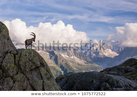 a mountain goat on the rocks Stock photo © OleksandrO