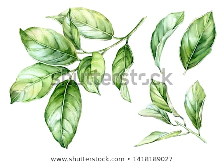 Folha verde isolado branco estúdio fotografia Foto stock © boroda