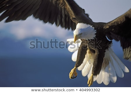 Bald Eagle Over Water Stock photo © searagen