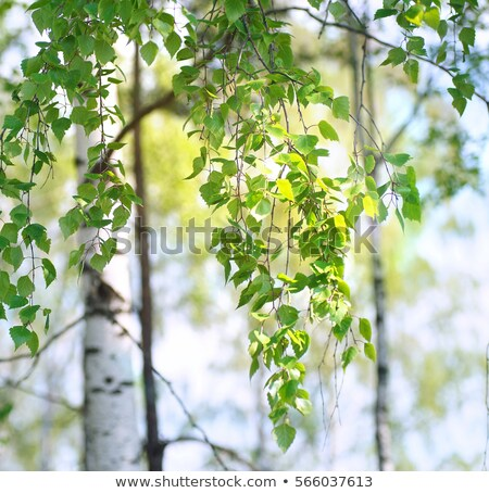Nyírfa zöld levél nyár nap fa természet Stock fotó © mikhail_ulyannik