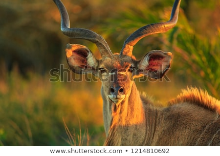 male kudu antelope stock photo © ecopic