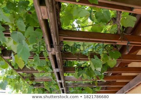Szőlőtőke üvegház kék érett szőlő megnőtt Stock fotó © papa1266