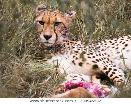 Gepárd fektet park Dél-Afrika állatok fotózás Stock fotó © simoneeman