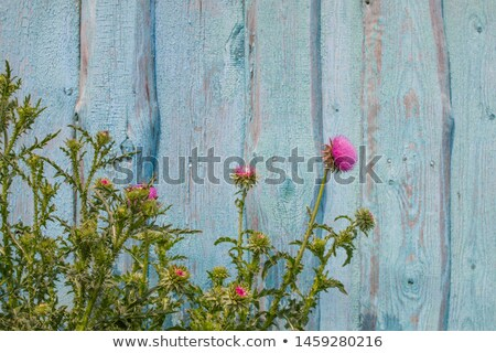 A white wooden fence with flowering plants Stock photo © bluering