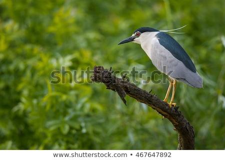 Black crowned Night Heron Stock photo © pictureguy