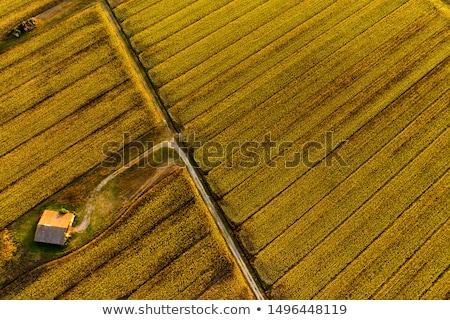 Aerial view of sunflower field in summer sunset Stock photo © stevanovicigor