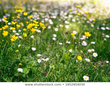 Full Frame Field of Daisies Flowers