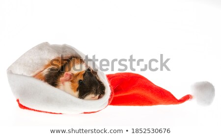 cute black and brown guinea pig with santa cap Stock photo © feedough