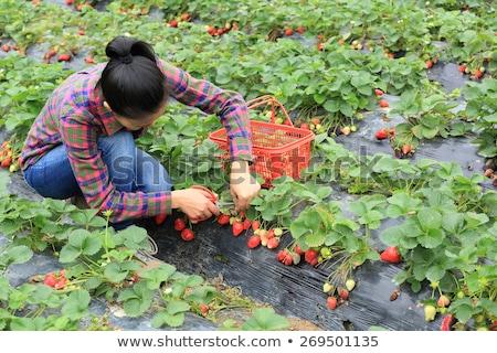 Photo stock: Fille · jardinier · récolte · panier · illustration · femme