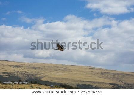 бородатый гриф горные Эфиопия Flying гор Сток-фото © artush