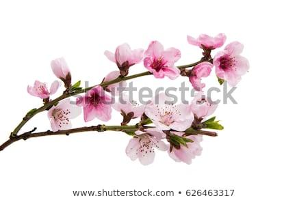 Rosa sakura flores isolado branco macro Foto stock © vapi