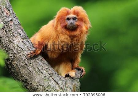 Złoty lew małpa portret charakter grupy Zdjęcia stock © frank11
