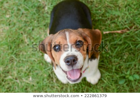 Stock photo: Beagle puppy sitting