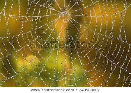 Spinnennetz Sonne Strahlen Aufgang Hintergrund Herbst Stock foto © sweetcrisis
