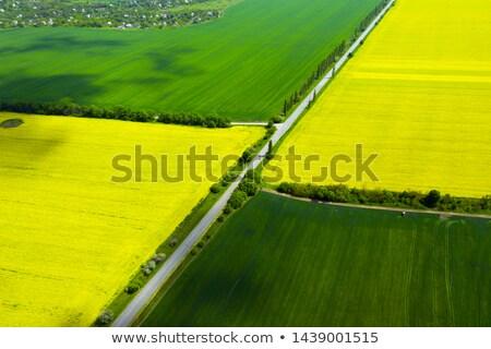 Trigo violación campo hermosa cielo azul agricultura Foto stock © romvo