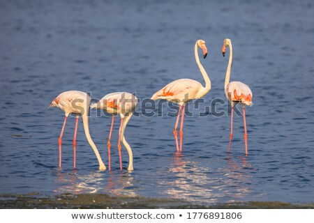 group of four flamingos in a lake stock photo © frank11