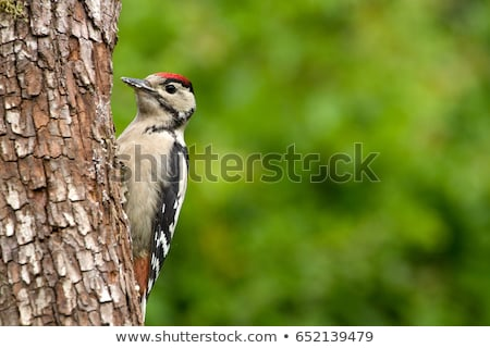 Greater Spotted Woodpecker feeding Stock photo © RTimages