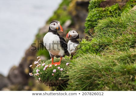 Two puffins - Iceland, Latrabjarg. Stock photo © tomasz_parys