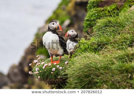 два · Исландия · птица · воды · природы - Сток-фото © tomasz_parys