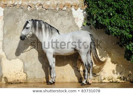 beautiful pura raza espanola pre andalusian horse stock photo © juniart