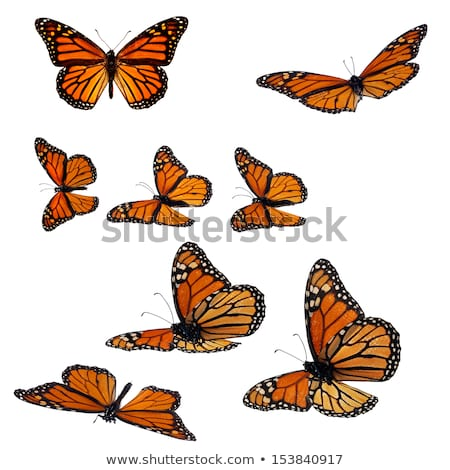 monarch butterfly closeup shot stock photo © stockyimages