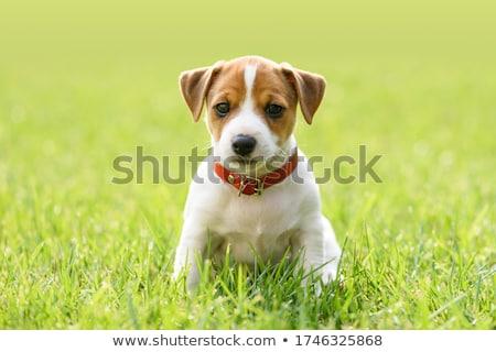 白 犬 かわいい 髪 動物 スタジオ ストックフォト © taden