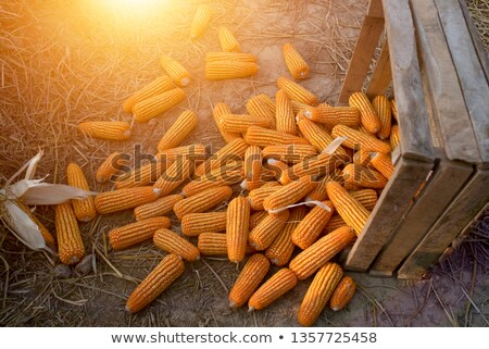 sweet yellow corn cobs macro stock photo © stevanovicigor