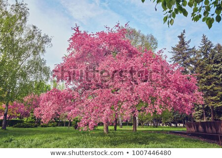 Pink blossom of an ornamental cherry tree stock photo © sarahdoow