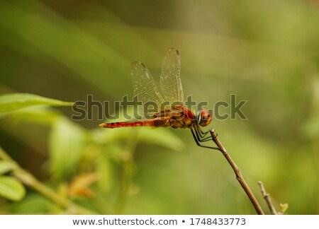 красный Dragonfly завода зеленый пейзаж Сток-фото © feelphotoart