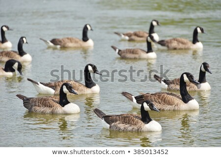 Greylag and Canada geese by a lake in the summer Stock photo © sarahdoow