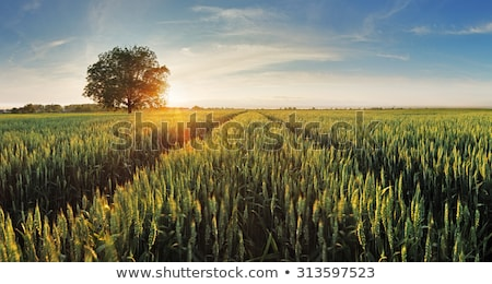 зеленый полях пшеницы Тоскана Италия трава Сток-фото © Fesus