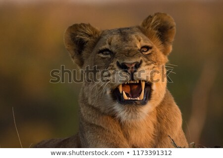 Lion smiling in the Kruger National Park. Stock photo © simoneeman