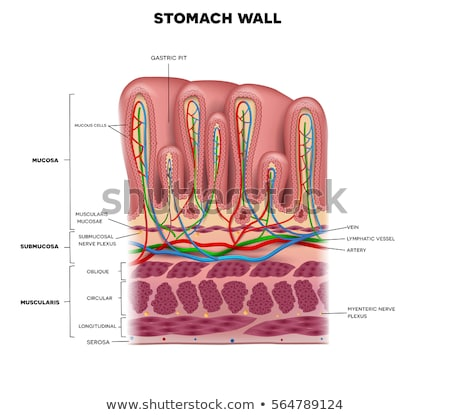 Stomach cross section anatomy beautiful colorful drawing on a wh Stock photo © Tefi