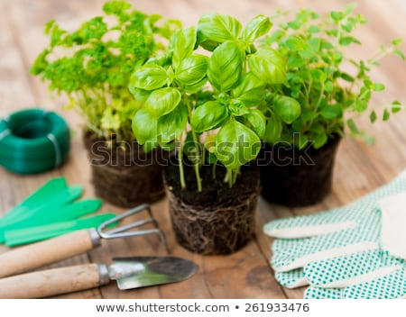 Fresco verde manjericão perfeito vegetação exuberante gotas de água Foto stock © zhekos