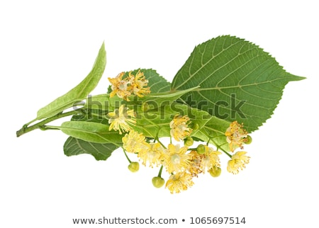 branches of flowering linden Stock photo © AnatolyM