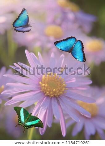 Borboleta violeta margarida natureza verão Foto stock © stefanoventuri