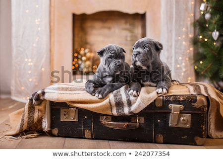 beautiful cane corso puppy in hat Stock photo © svetography