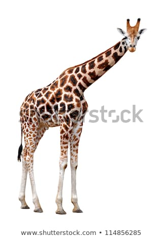 Giraffe on the isolated nature Stock photo © colematt
