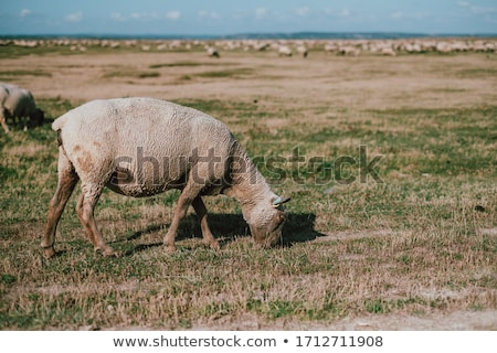 Sheeps eating grass in Mont Saint Michel bay Stock photo © tilo