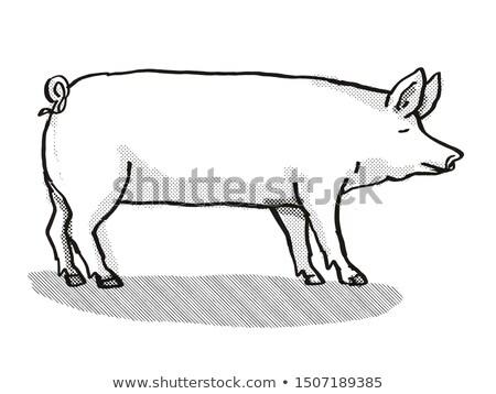 Large White Pig Breed Cartoon Retro Drawing Stock photo © patrimonio